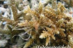 Gewoehnlicher-Rotfeuerfisch_adult-Malediven-2013-007