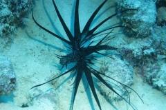 Rotfeuerfisch schwarze Variante_adult-Malediven-2013-02