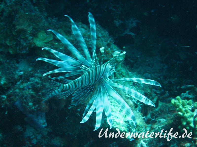 Rotfeuerfisch_adult-Karibik-2014-01
