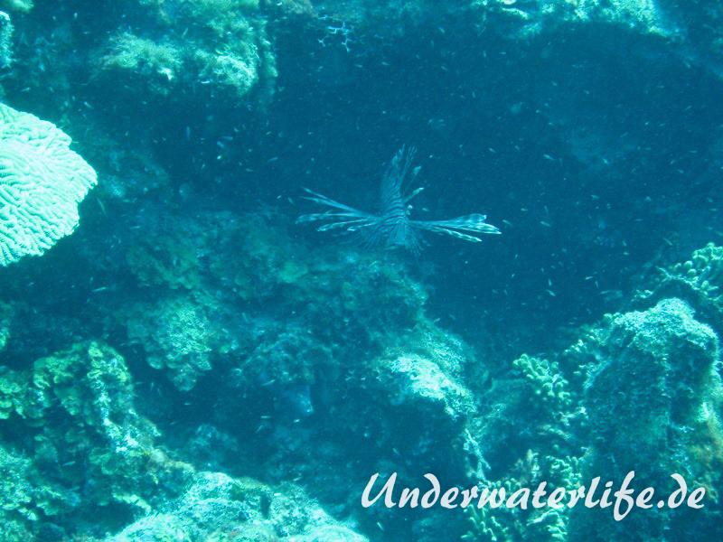 Rotfeuerfisch_adult-Karibik-2014-03
