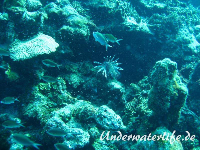 Rotfeuerfisch_adult-Karibik-2014-05
