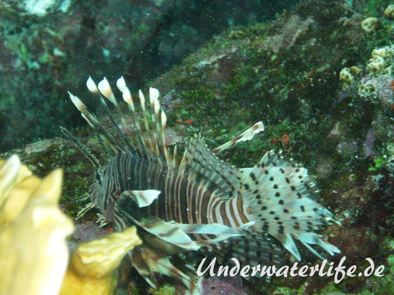 Rotfeuerfisch_adult-Karibik-2014-09
