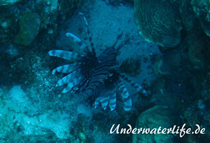 Rotfeuerfisch_adult-Karibik-2014-11