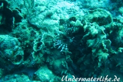 Rotfeuerfisch_adult-Karibik-2014-02