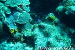 Rotfeuerfisch_adult-Karibik-2014-04