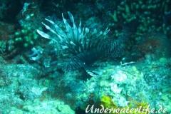 Rotfeuerfisch_adult-Karibik-2014-07