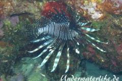 Rotfeuerfisch_adult-Karibik-2014-08