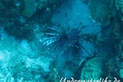 Rotfeuerfisch_adult-Karibik-2014-10