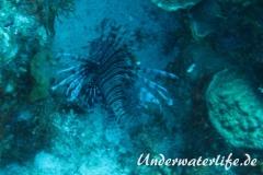 Rotfeuerfisch_adult-Karibik-2014-12