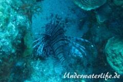 Rotfeuerfisch_adult-Karibik-2014-13