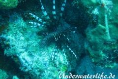 Rotfeuerfisch_adult-Karibik-2014-14