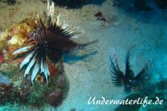 Rotfeuerfisch_adult-Karibik-2014-15