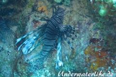 Rotfeuerfisch_adult-Karibik-2014-16