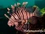 Rotfeuerfisch (Pterois miles) Indopazifik