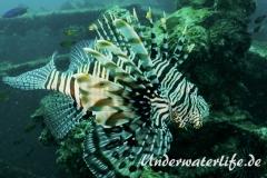 Rotfeuerfisch_adult-Thailand-2017-002