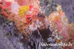 Rotfeuerfisch_adult-Thailand-2017-006