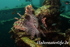 Rotfeuerfisch_adult-Thailand-2017-011