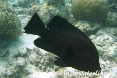Rotmaul-Zackenbarsch_adult-Malediven-2013-001