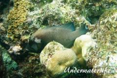 Rotmaul-Zackenbarsch_adult-Malediven-2013-002