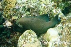 Rotmaul-Zackenbarsch_adult-Malediven-2013-003