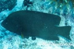 Rotmaul-Zackenbarsch_adult-Malediven-2013-004