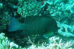 Rotmaul-Zackenbarsch_adult-Malediven-2013-005