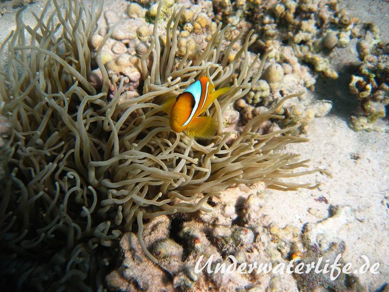 Rotmeer-Anemonenfisch_adult-Marsa alam-2012-2