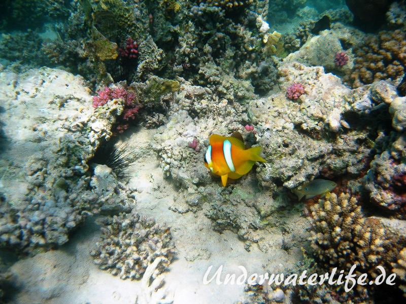 Rotmeer-Anemonenfisch_adult-Marsa alam-2012-4