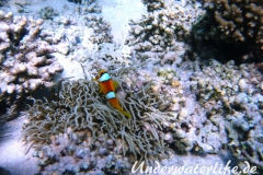 Rotmeer-Anemonenfisch_adult-Marsa alam-2012-1