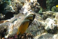 Rotmeer-Rippenfalterfisch_adult-Marsa alam-2012-1