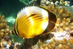 Rotmeer-Rippenfalterfisch_adult-Marsa alam-2012-2