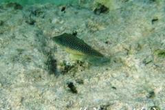 Rotmeer-Spitzkopfkugelfisch_adult-Marsa alam-2012-1