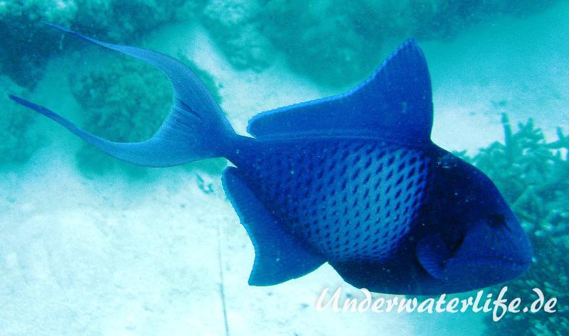 Rotzahn-Dürckerfisch_adult-Malediven-2013-01