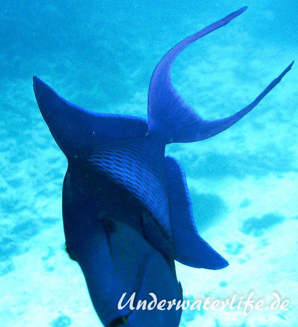 Rotzahn-Dürckerfisch_adult-Malediven-2013-03