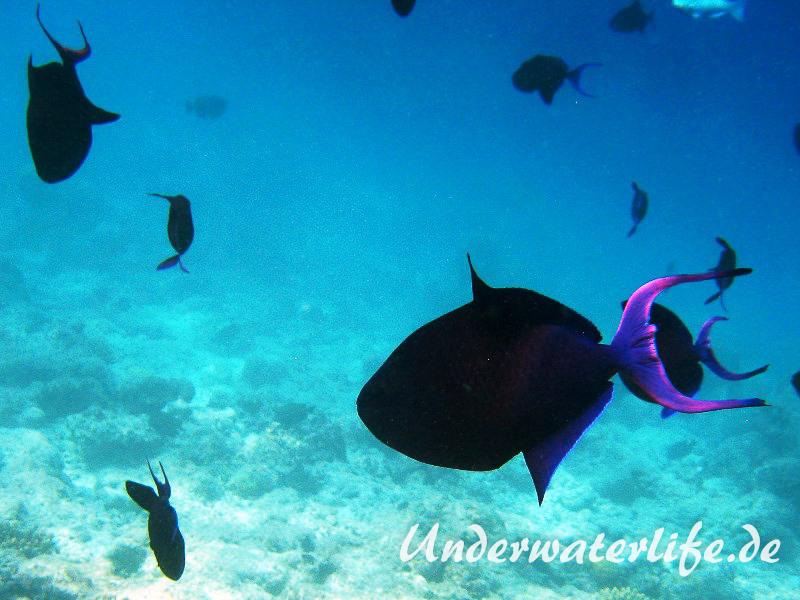 Rotzahn-Dürckerfisch_adult-Malediven-2013-05
