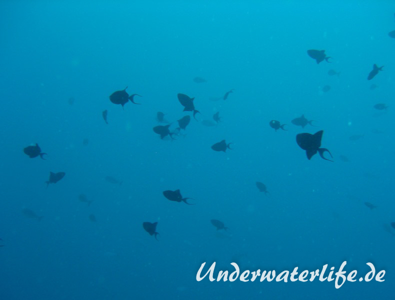 Rotzahn-Dürckerfisch_adult-Malediven-2013-06