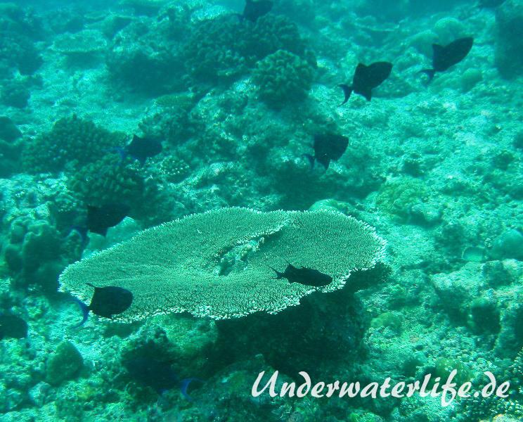 Rotzahn-Dürckerfisch_adult-Malediven-2013-08
