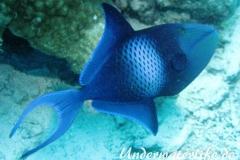 Rotzahn-Dürckerfisch_adult-Malediven-2013-02