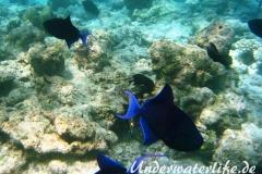Rotzahn-Dürckerfisch_adult-Malediven-2013-04