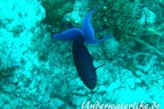 Rotzahn-Dürckerfisch_adult-Malediven-2013-07