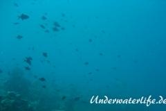 Rotzahn-Dürckerfisch_adult-Malediven-2013-09