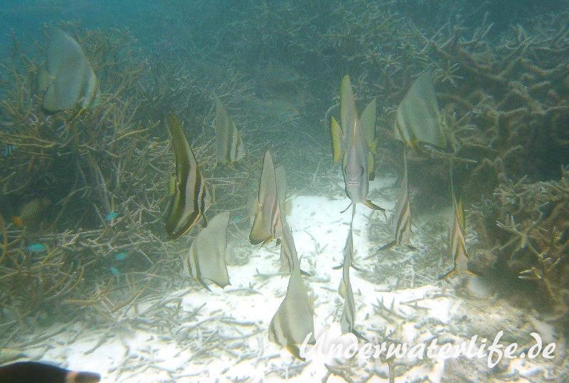Rundkopf-Fledermausfisch_adult-Malediven-2013-003