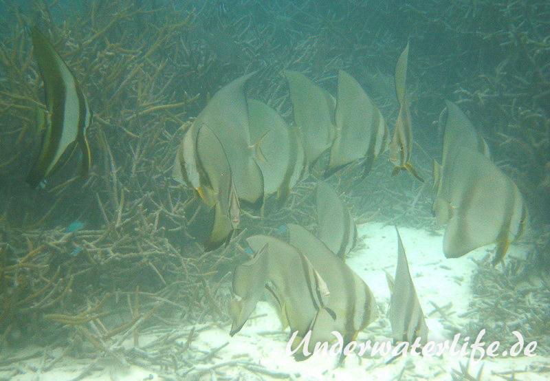 Rundkopf-Fledermausfisch_adult-Malediven-2013-004