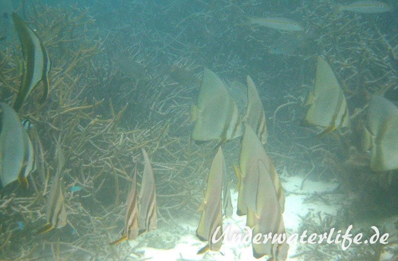 Rundkopf-Fledermausfisch_adult-Malediven-2013-005