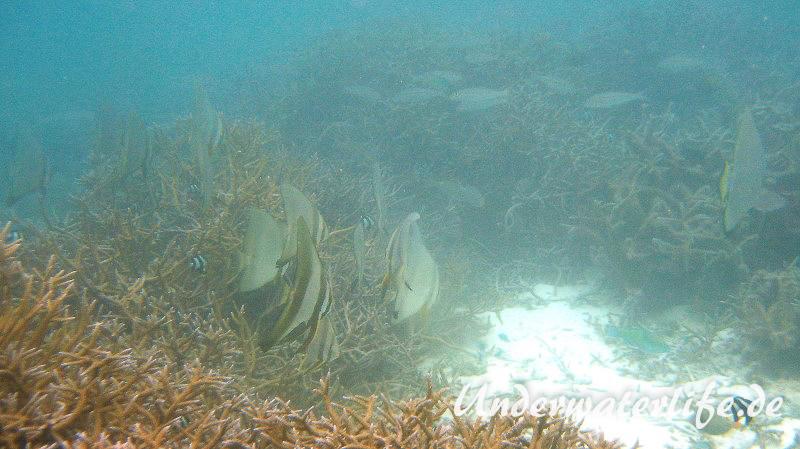 Rundkopf-Fledermausfisch_adult-Malediven-2013-006