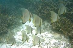 Rundkopf-Fledermausfisch_adult-Malediven-2013-002