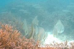 Rundkopf-Fledermausfisch_adult-Malediven-2013-007