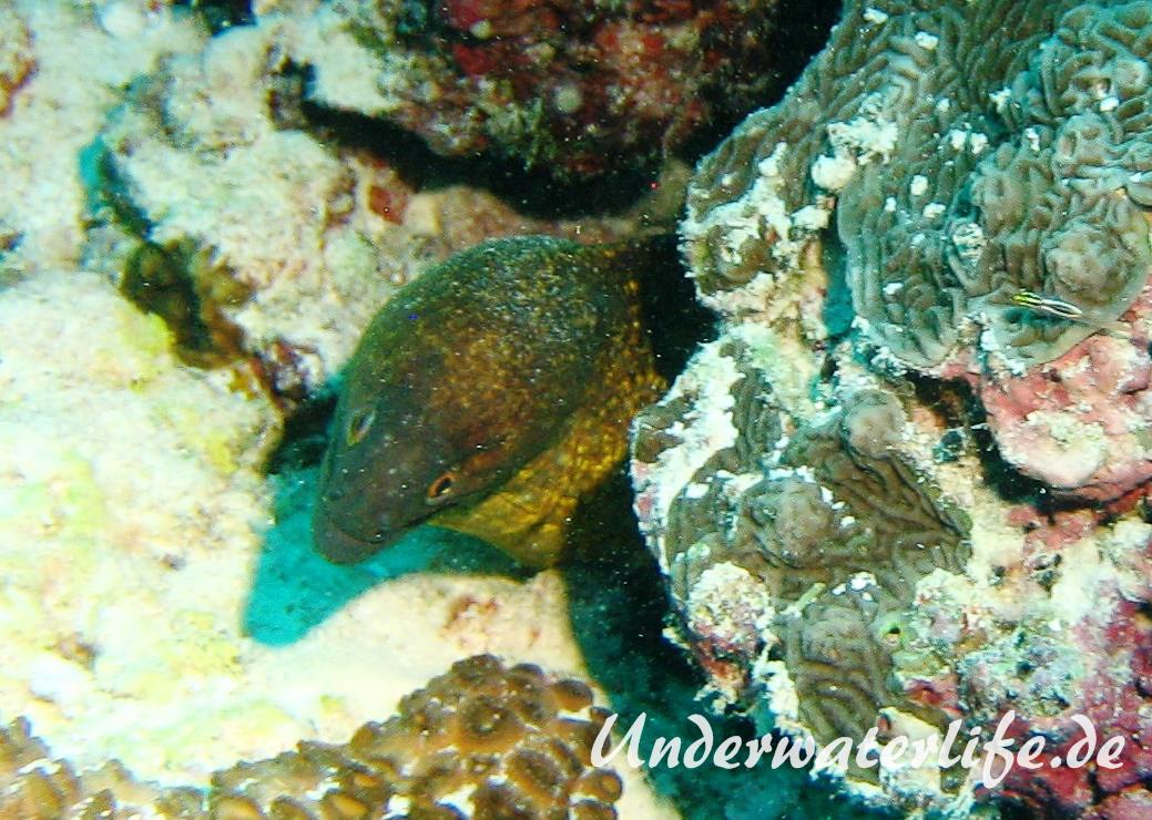 Russkopf Muraene_adult-Malediven-2013-01