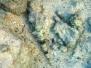 Sand-Eidechsenfisch (Synodus dermatogenys)