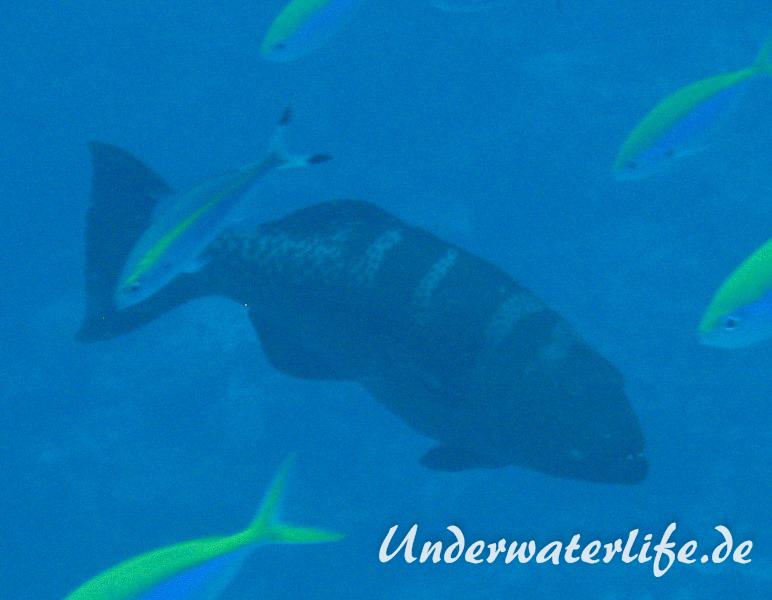 Sattel-Forellenbarsch_adult-Malediven-2013-01